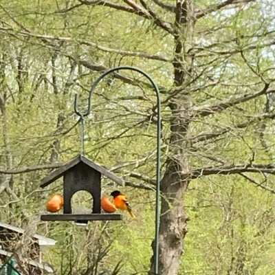 Is it Time to Put out the Oriole Feeder?