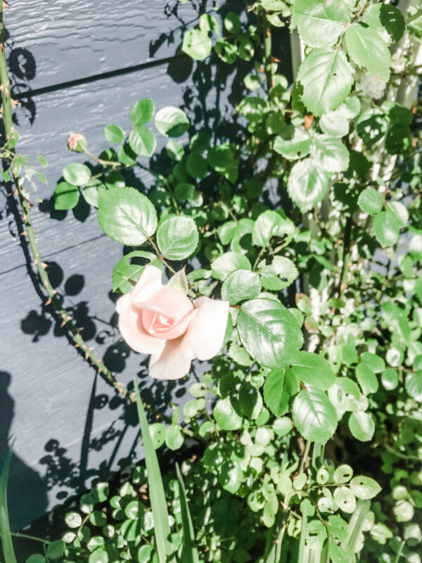 Light Pink Climbing Rose with one bloom