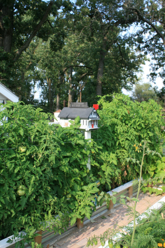 Vegetable garden with raised beds and a white picket fence