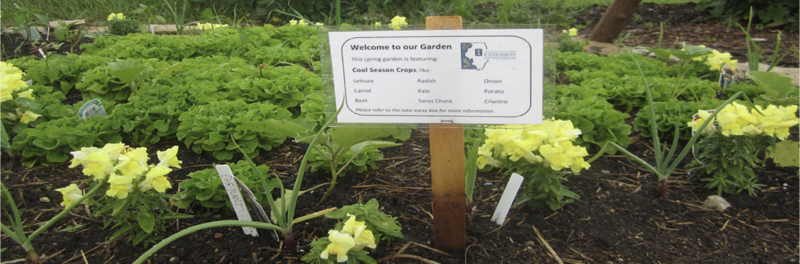 This is a picture of a community vegetable garden