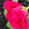 Beautiful Fushia Rose