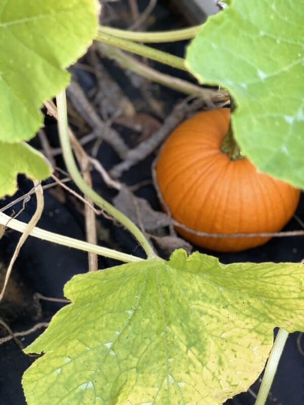 Sweet little orange pumpkins  growing in my vegetable garden
