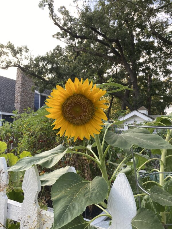 Beautiful Sunflower in the vegetable garden with the house in the background